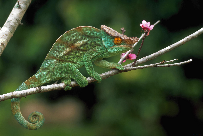 игровая картинки хамелеона животное радио устройствах